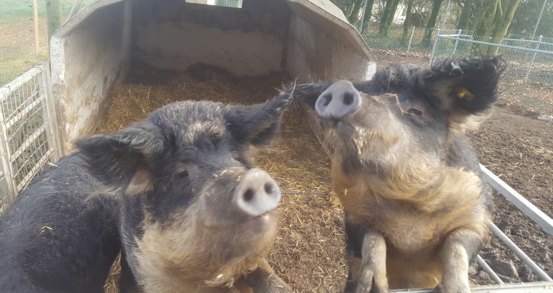 Cochons Laineux délicieux cochons laineux | charcuterie porchet